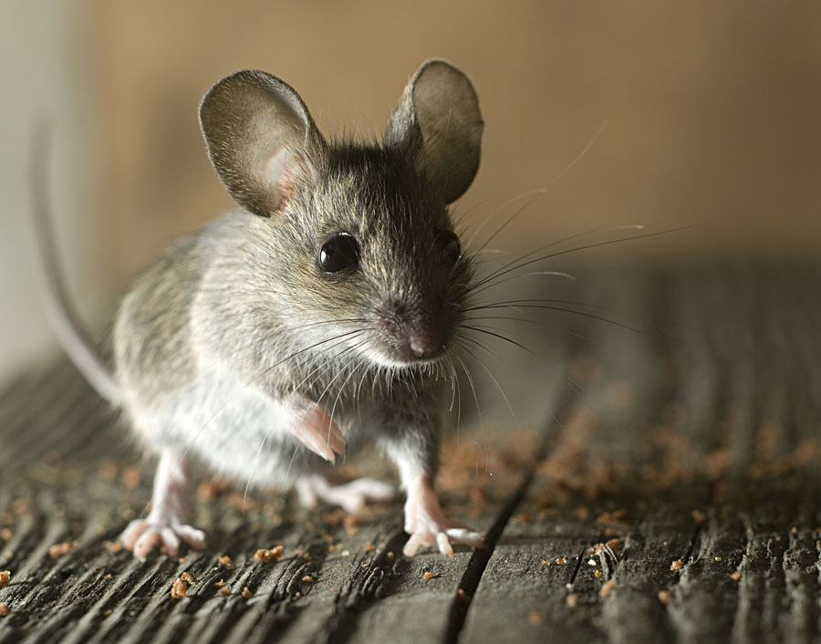 Mouse pest removal Hampshire